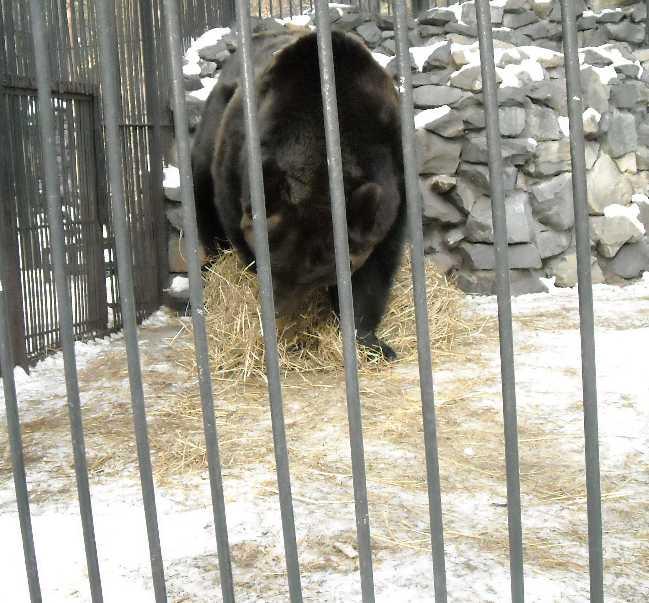 Бурый медведь - Ursus arctos  (фото 265)