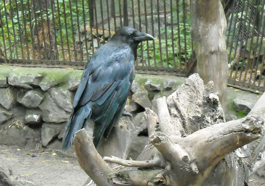 Ворон - Corvus corax  (фото 272)
