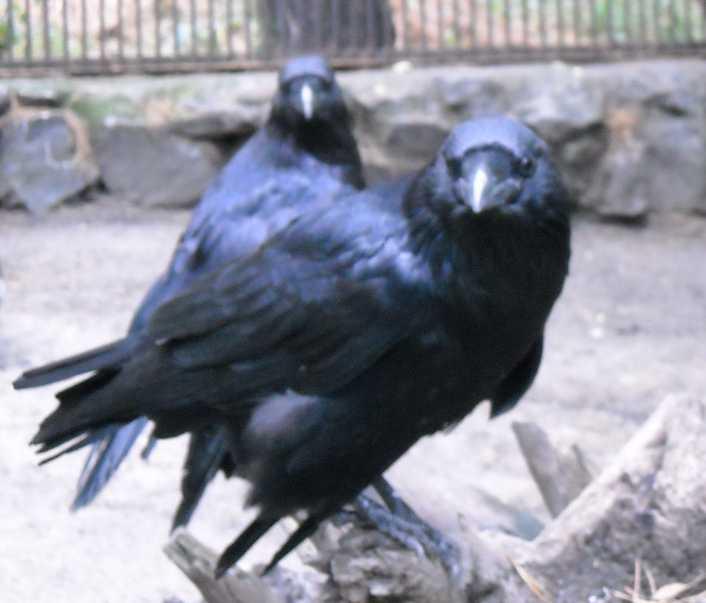 Ворон - Corvus corax  (фото 273)