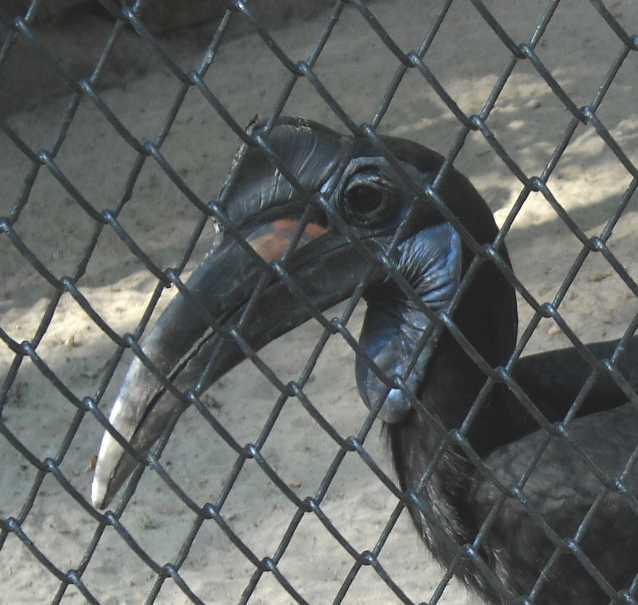 Абиссинский рогатый ворон - Bucorvus abyssinicus  (фото 279)