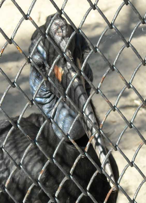 Абиссинский рогатый ворон - Bucorvus abyssinicus  (фото 280)