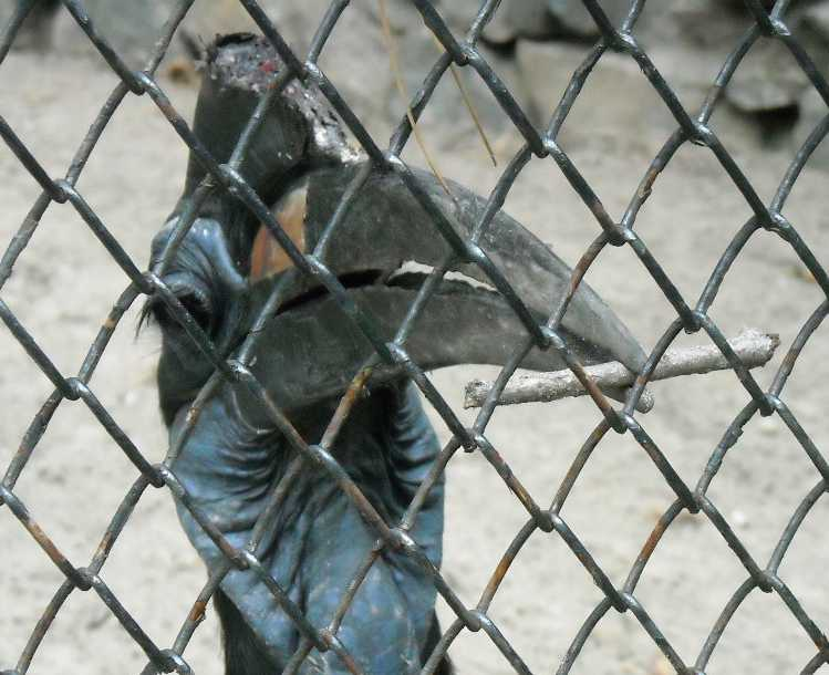 Абиссинский рогатый ворон - Bucorvus abyssinicus  (фото 285)