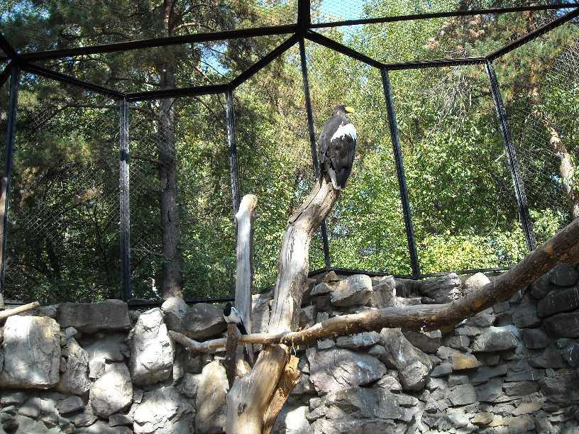 Орлан белоплечий - Haliaeetus pelagicus  (фото 306)