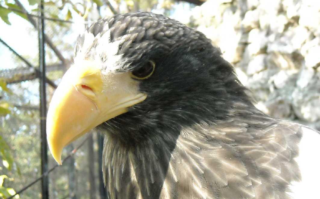 Орлан белоплечий - Haliaeetus pelagicus  (фото 307)