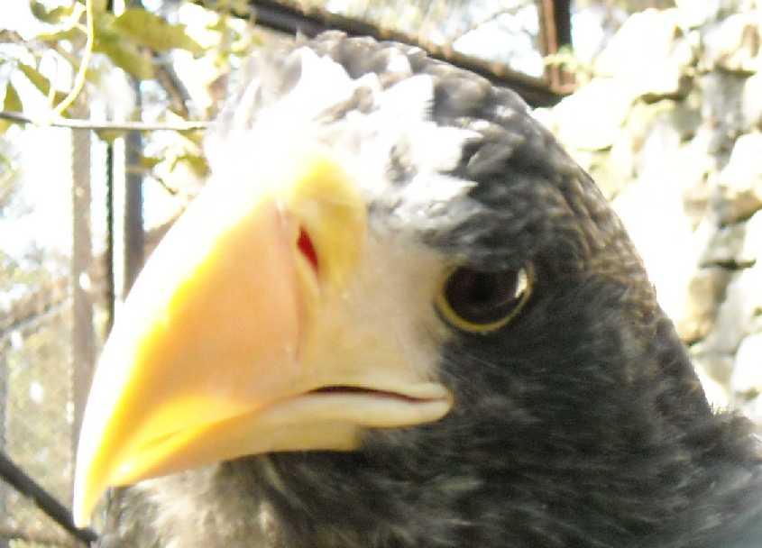 Орлан белоплечий - Haliaeetus pelagicus  (фото 308)