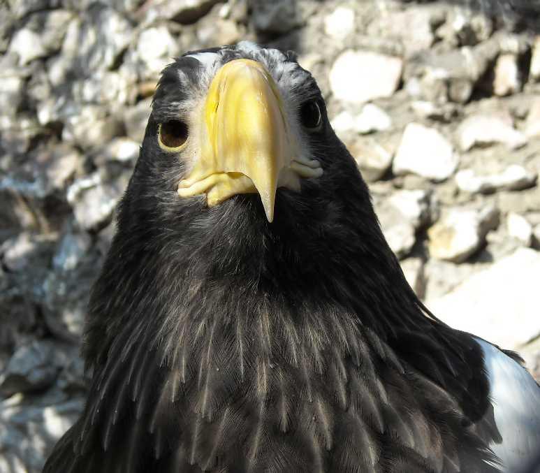 Орлан белоплечий - Haliaeetus pelagicus  (фото 310)