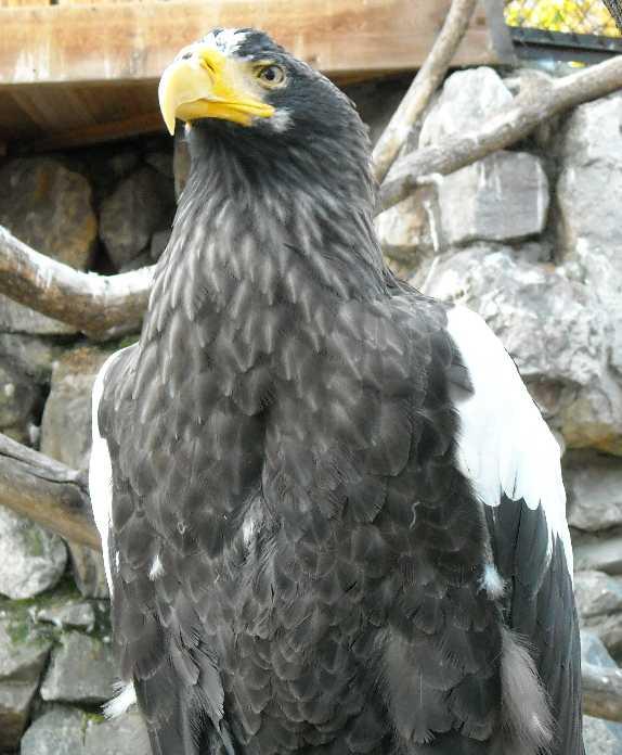 Орлан белоплечий - Haliaeetus pelagicus  (фото 312)
