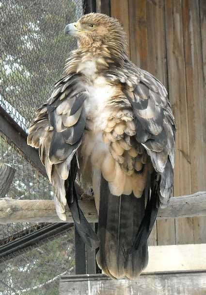 Беркут - Aquila chrysaetos  (фото 318)