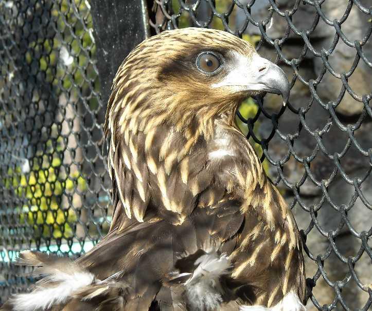 Беркут - Aquila chrysaetos  (фото 320)