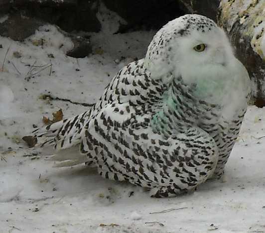 Белая сова - Nyctea scandiaca  (фото 334)