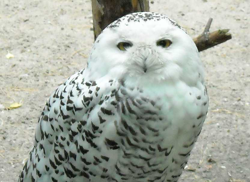 Белая сова - Nyctea scandiaca  (фото 338)