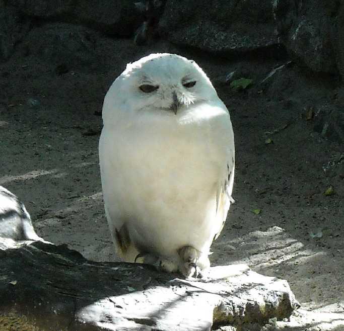 Белая сова - Nyctea scandiaca  (фото 340)