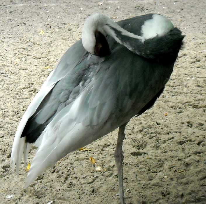 Даурский журавль - Grus vipio  (фото 356)
