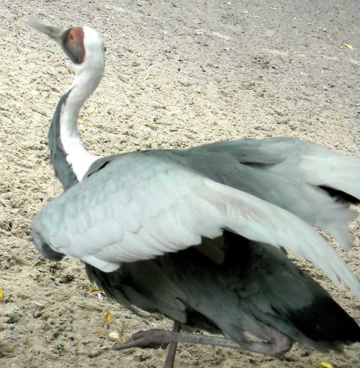 Серый журавль - Grus grus  (фото 359)
