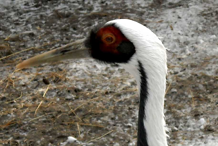 Серый журавль - Grus grus  (фото 362)