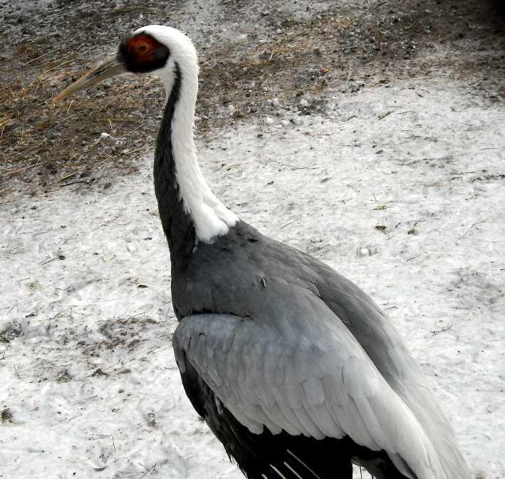 Серый журавль - Grus grus  (фото 363)