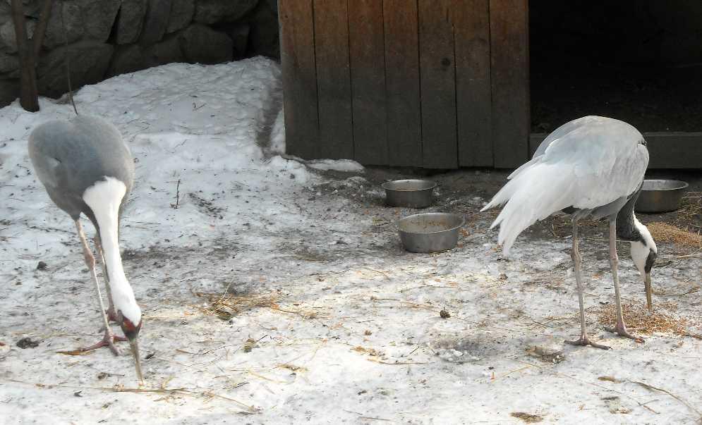 Серый журавль - Grus grus  (фото 364)