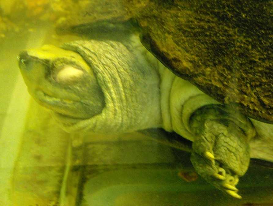 Храмовая черепаха - Hieremys annandalei  (фото 427)
