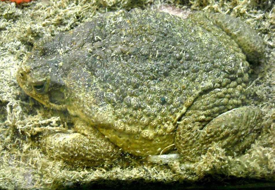 Жаба-ага - Bufo marinus  (фото 428)