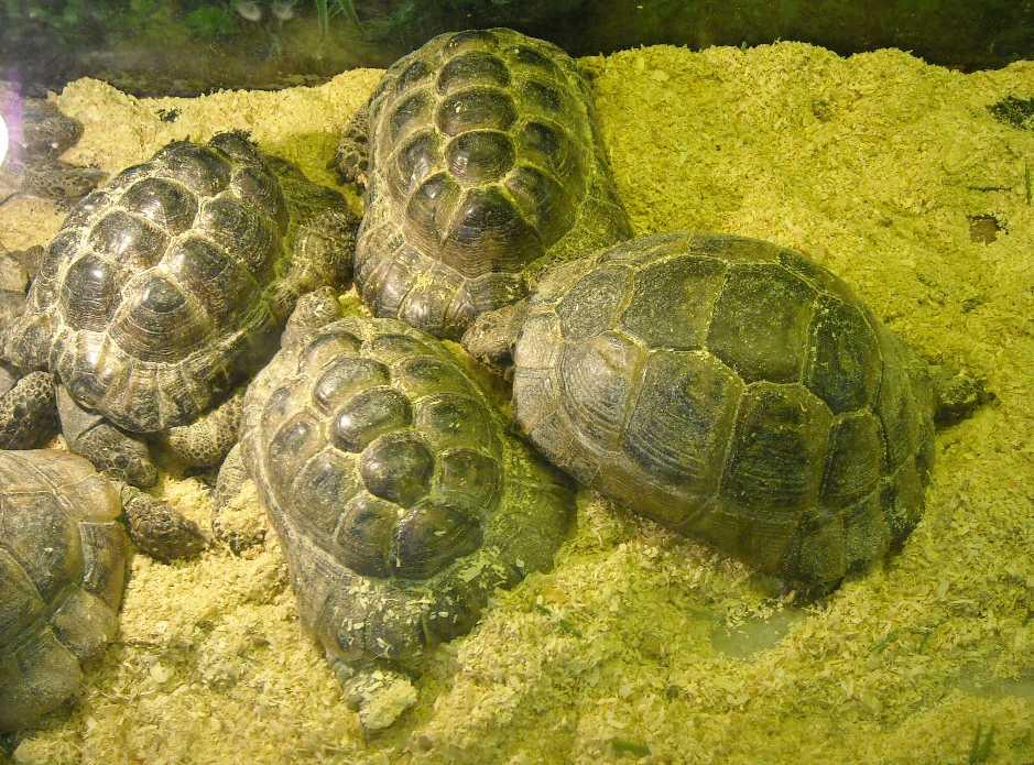 Средиземноморская черепаха - Testudo graeca  (фото 429)