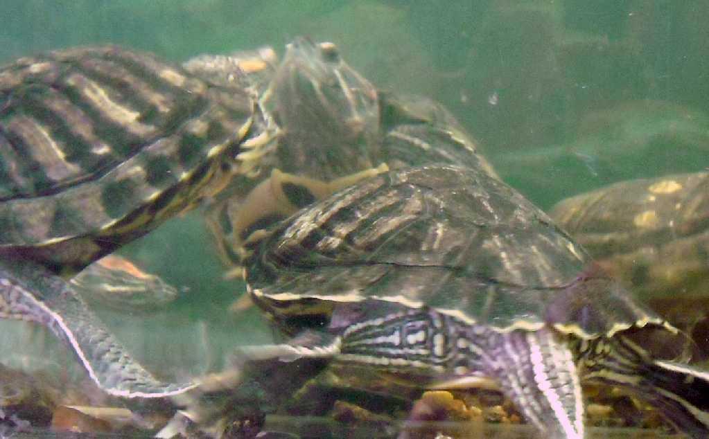 Красноухая черепаха - Pseudemys scripta elegans  (фото 430)