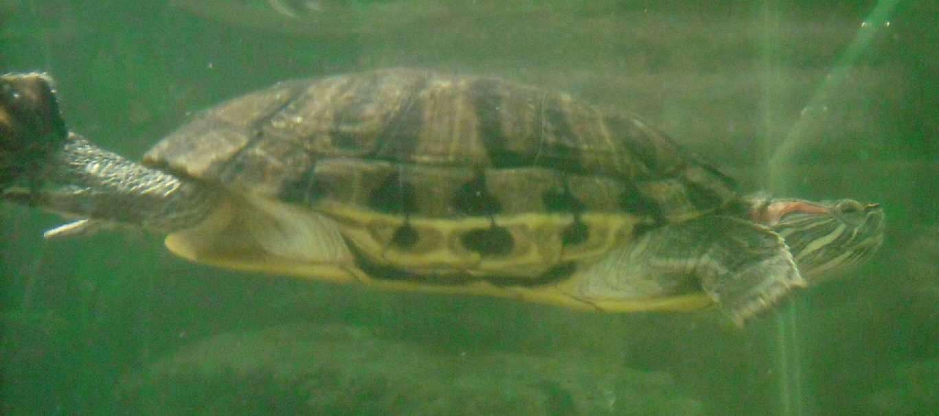Красноухая черепаха - Pseudemys scripta elegans  (фото 431)
