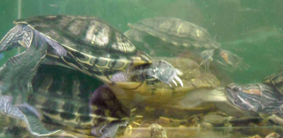 Красноухая черепаха - Pseudemys scripta elegans  (фото 432)