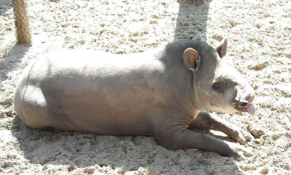 Равнинный тапир - Tapirus terrestris  (фото 444)
