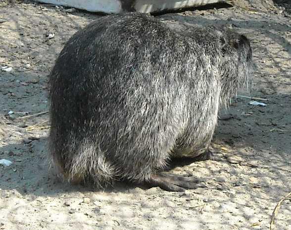 Канадская черная нутрия - Myocastor coypus  (фото 451)