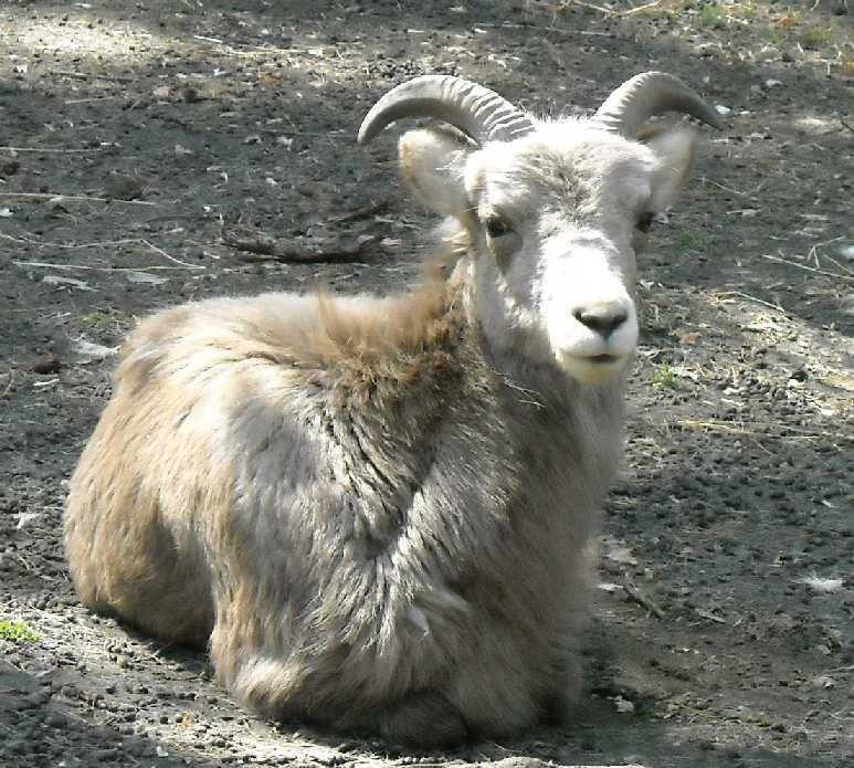 Сибирский горный козел - Capra ibex sibirica  (фото 461)