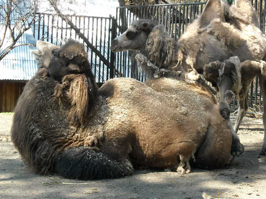 Двугорбый верблюд - Camelus ferus dom.  (фото 463)