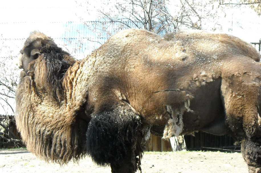 Двугорбый верблюд - Camelus ferus dom.  (фото 464)