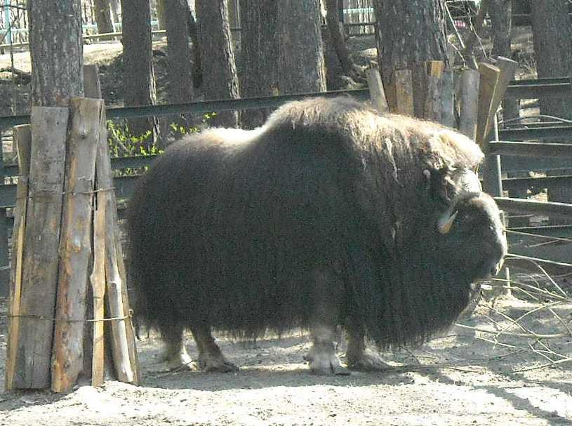 Овцебык - Ovibos moschatus  (фото 468)