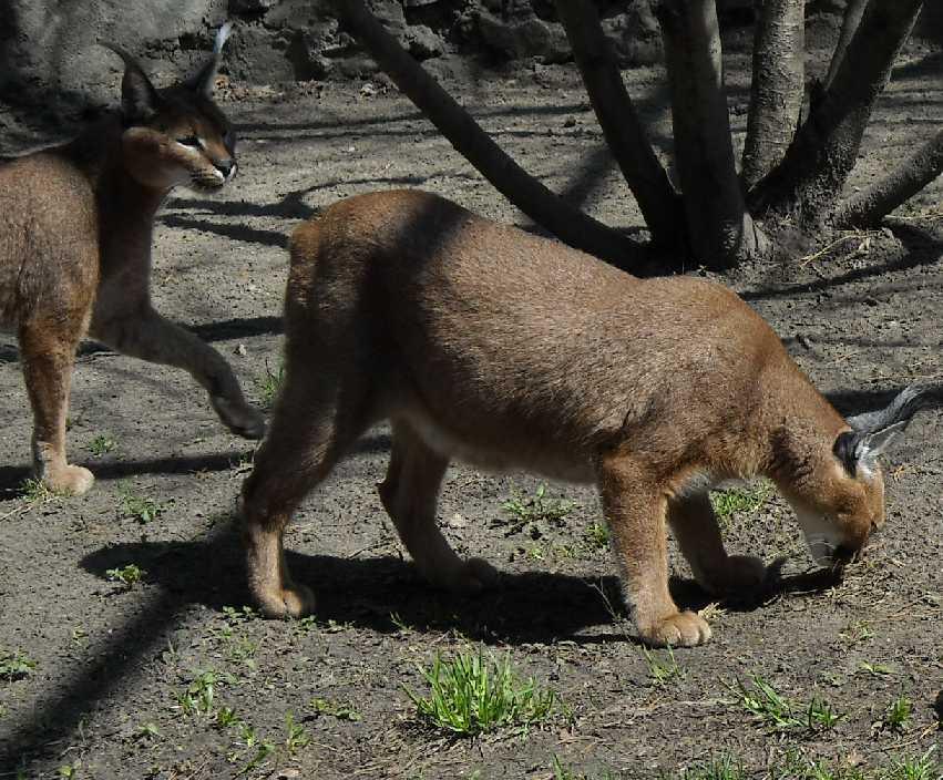 Каракал - Felis caracal  (фото 472)