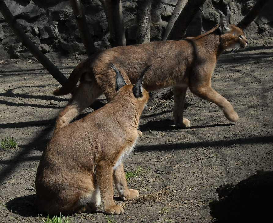Каракал - Felis caracal  (фото 473)