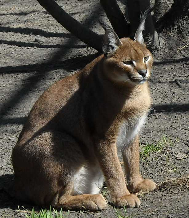 Каракал - Felis caracal  (фото 476)