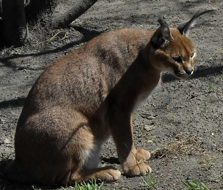 Каракал - Felis caracal  (фото 478)