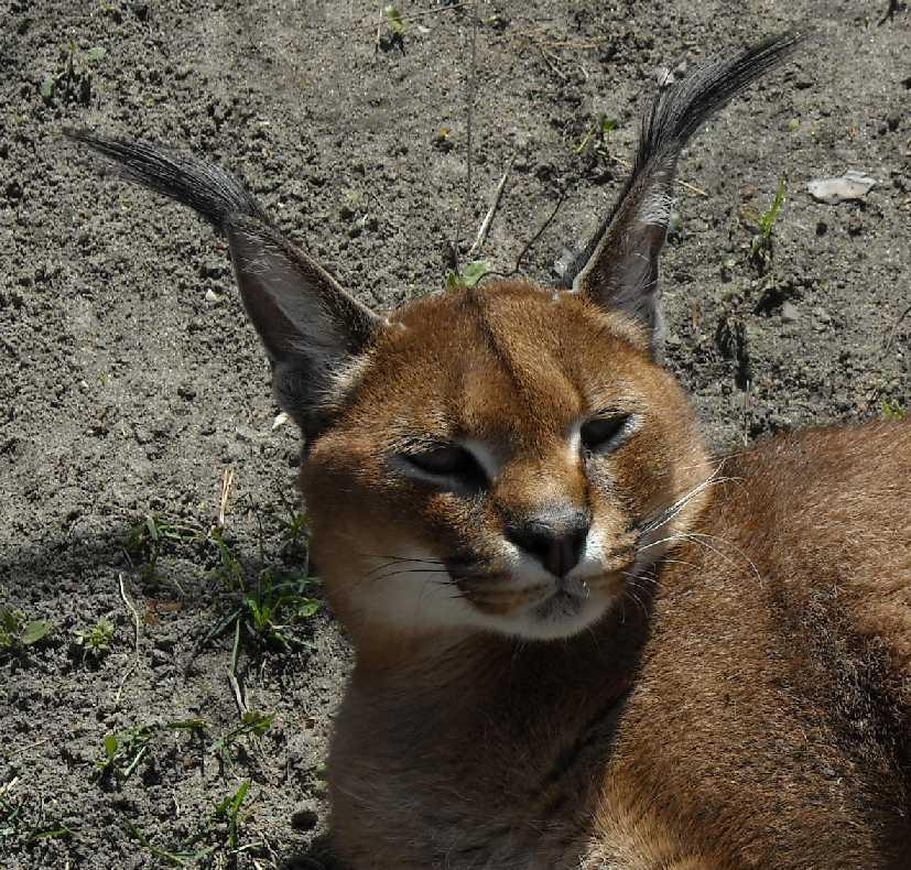 Каракал - Felis caracal  (фото 483)
