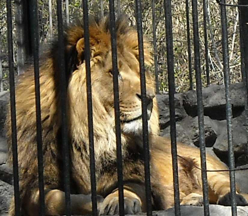 Африканский лев - Panthera leo  (фото 486)