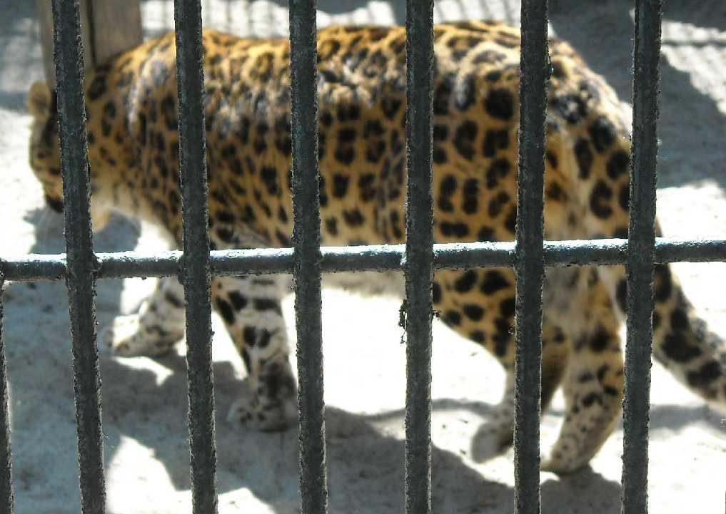 Дальневосточный леопард - Panthera pardus orientalis  (фото 487)