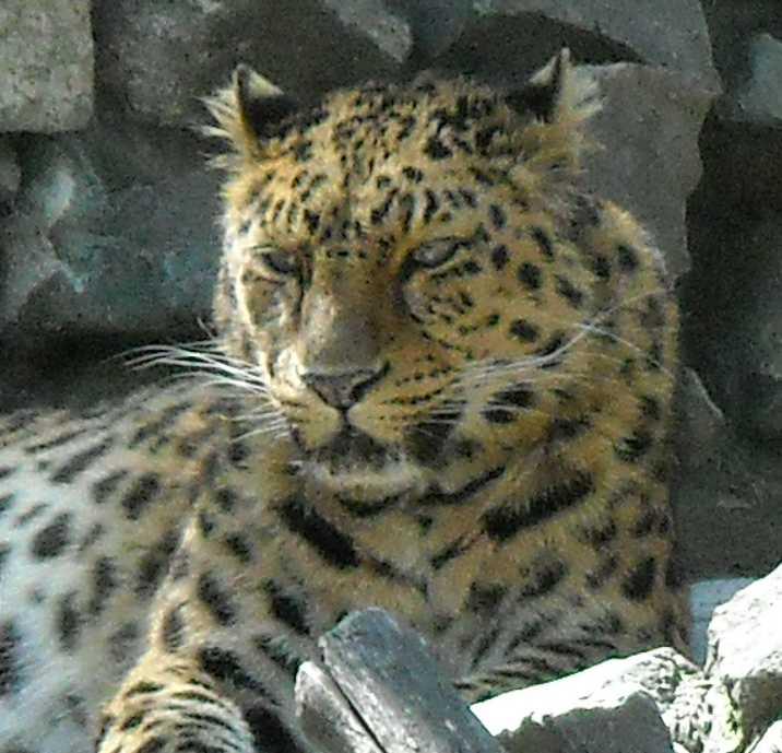 Дальневосточный леопард - Panthera pardus orientalis  (фото 488)