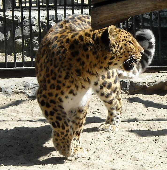 Дальневосточный леопард - Panthera pardus orientalis  (фото 491)