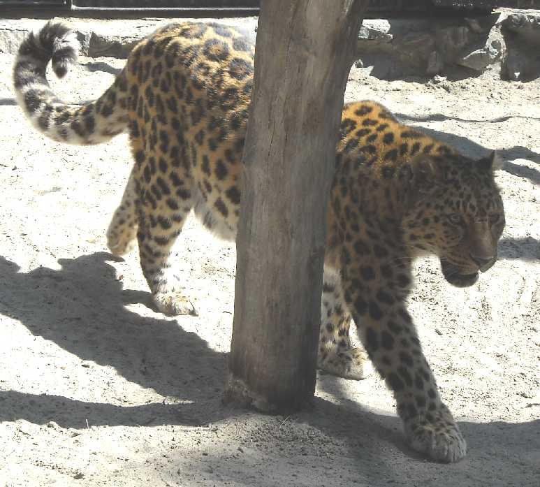Дальневосточный леопард - Panthera pardus orientalis  (фото 492)