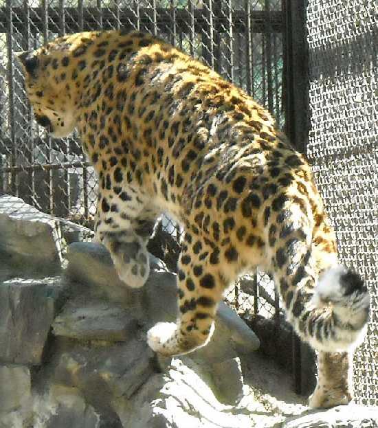 Дальневосточный леопард - Panthera pardus orientalis  (фото 493)