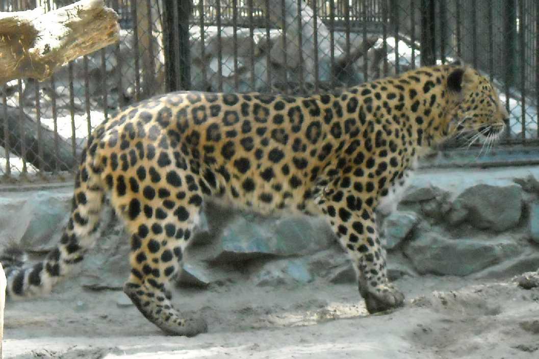 Дальневосточный леопард - Panthera pardus orientalis  (фото 494)