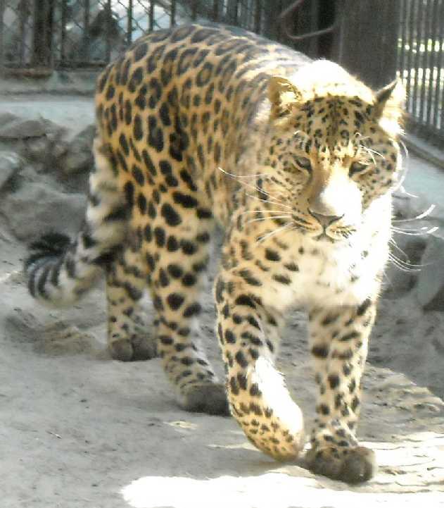 Дальневосточный леопард - Panthera pardus orientalis  (фото 495)