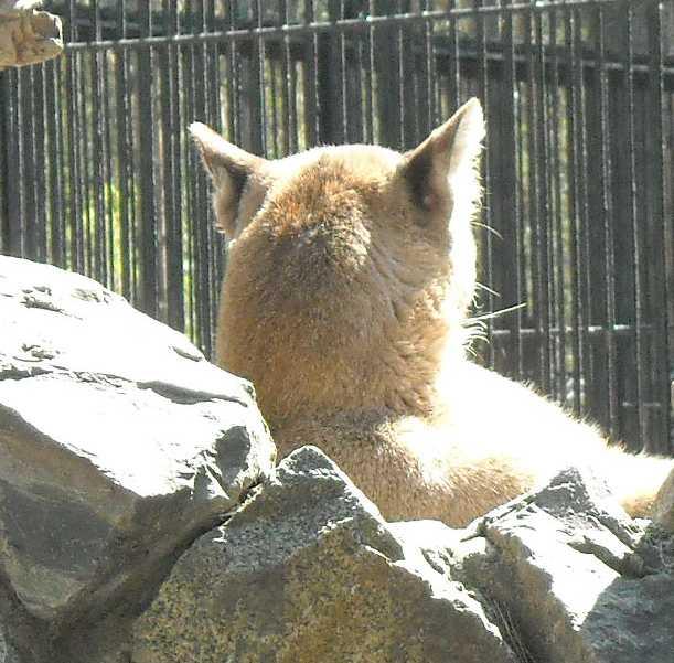 Пума - Felis concolor  (фото 498)