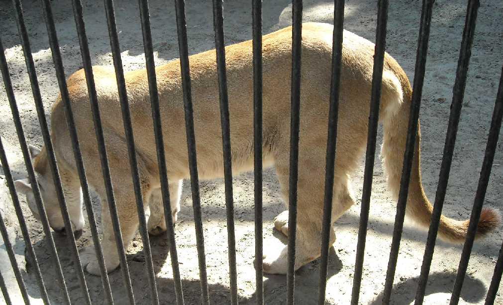 Пума - Felis concolor  (фото 500)