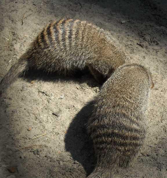 Полосатый мангуст - Mungos mungo  (фото 517)