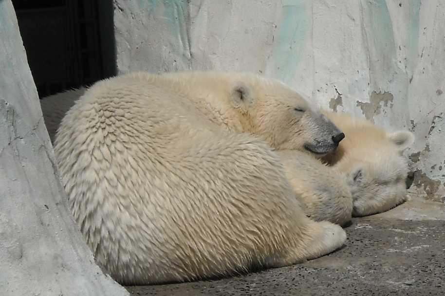 Белый медведь - Ursus maritimus  (фото 521)